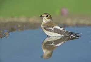 European Pied Flycatcher (Ficedula hypoleuca) in pool, Aosta Valley, Italy  -  Alain Ghignone/ BIA