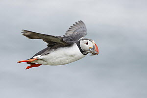 Atlantic Puffin (Fratercula arctica) flying with sandeel prey, Iceland - Michael Milicia/ BIA