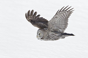 Great Gray Owl (Strix nebulosa) flying, Quebec, Canada - Michael Milicia/ BIA