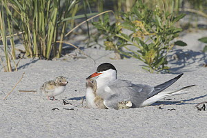 Common Tern (Sterna hirundo) parent on nest with chicks on beach, Massachusetts - Michael Milicia/ BIA