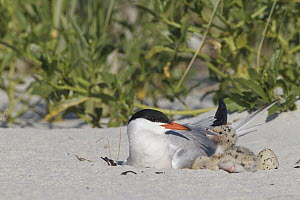 Common Tern (Sterna hirundo) parent at nest with chicks on beach, Massachusetts - Michael Milicia/ BIA