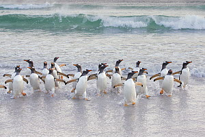 Gentoo Penguin (Pygoscelis papua) group coming ashore, Sea Lion Island, Falkland Islands  -  Michael Milicia/ BIA