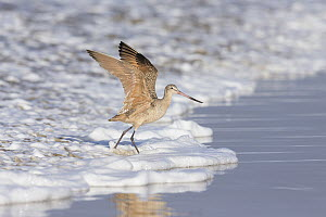 Marbled Godwit (Limosa fedoa) taking flight at surf's edge, California - Michael Milicia/ BIA