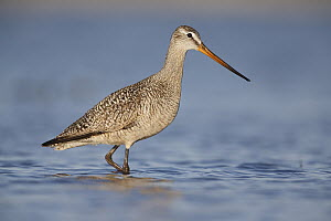 Marbled Godwit (Limosa fedoa) wading, Montana - Michael Milicia/ BIA