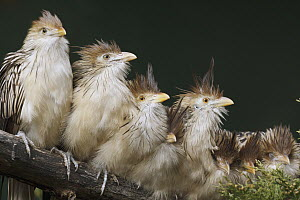 Guira Cuckoo (Guira guira) group huddled together, native to South America  -  Rosl Roessner/ BIA
