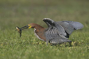 Rufescent Tiger-Heron (Tigrisoma lineatum) with fish prey, Corrientes, Argentina - Nate Chappell/ BIA