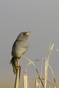 Great Pampa-Finch (Embernagra platensis), Corrientes, Argentina  -  Nate Chappell/ BIA