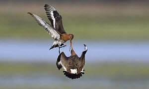 Black-tailed Godwit (Limosa limosa) pair fighting, Duemmer Lake, Germany, sequence 1 of 6  -  Winfried Wisniewski