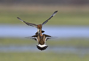 Black-tailed Godwit (Limosa limosa) pair fighting, Duemmer Lake, Germany, sequence 2 of 6  -  Winfried Wisniewski