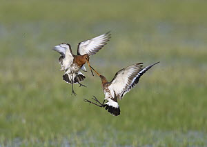 Black-tailed Godwit (Limosa limosa) pair fighting, Duemmer Lake, Germany, sequence 3 of 6  -  Winfried Wisniewski