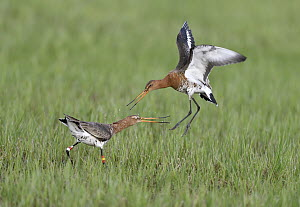 Black-tailed Godwit (Limosa limosa) pair fighting, Duemmer Lake, Germany, sequence 4 of 6  -  Winfried Wisniewski