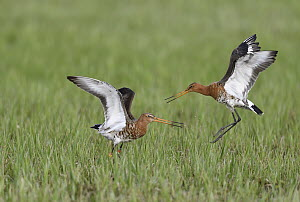 Black-tailed Godwit (Limosa limosa) pair fighting, Duemmer Lake, Germany, sequence 5 of 6  -  Winfried Wisniewski