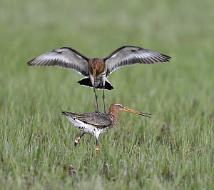 Black-tailed Godwit (Limosa limosa) pair fighting, Duemmer Lake, Germany, sequence 6 of 6  -  Winfried Wisniewski