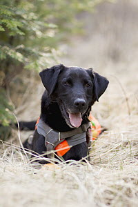 Domestic Dog (Canis familiaris) named Scooby, a scent detection dog with Conservation Canines, northeast Washington - Jaymi Heimbuch