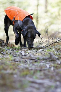 Domestic Dog (Canis familiaris) named Scooby, a scent detection dog with Conservation Canines, searching for carnivore scat, northeast Washington - Jaymi Heimbuch