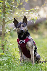 Domestic Dog (Canis familiaris) named Skye, a scent detection dog with Conservation Canines, northeast Washington - Jaymi Heimbuch