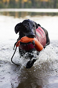 Domestic Dog (Canis familiaris) named Ranger, a scent detection dog with Conservation Canines, playing in water, Adirondack Mountains, New York - Jaymi Heimbuch