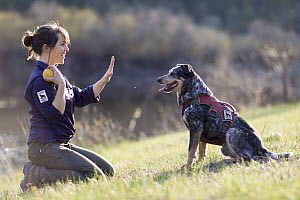 Domestic Dog (Canis familiaris) named Jack, a scent detection dog with Conservation Canines, being trained by field technician Suzie Marlow, northeast Washington - Jaymi Heimbuch