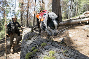 Domestic Dog (Canis familiaris) named Pips, a scent detection dog with Conservation Canines, searching for carnivore scat, northeast Washington - Jaymi Heimbuch