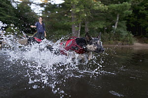 Domestic Dog (Canis familiaris) named Skye, a scent detection dog with Conservation Canines, playing in water, Adirondack Mountains, New York - Jaymi Heimbuch