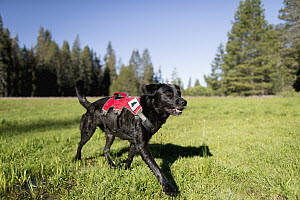 Domestic Dog (Canis familiaris) named Winnie, a scent detection dog with Conservation Canines, running in meadow, Sierra Nevada, California - Jaymi Heimbuch