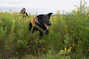 Domestic Dog (Canis familiaris) named Ranger, a scent detection dog with Conservation Canines, searching for moose scat, Adirondack Mountains, New York - Jaymi Heimbuch