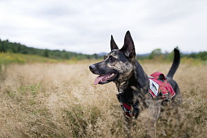 Domestic Dog (Canis familiaris) named Skye, a scent detection dog with Conservation Canines, searching for moose scat, Adirondack Mountains, New York - Jaymi Heimbuch