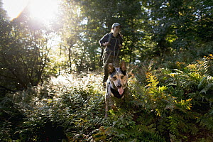 Domestic Dog (Canis familiaris) named Hiccup, a scent detection dog with Conservation Canines, searching for mustelid scat, Adirondack Mountains, New York - Jaymi Heimbuch