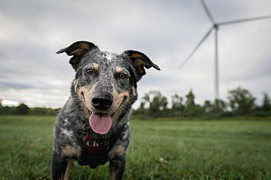 Domestic Dog (Canis familiaris) named Jack, a scent detection dog with Conservation Canines, searching for bat and bird carcasses on wind farm, New York - Jaymi Heimbuch