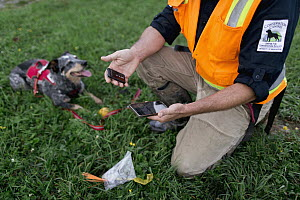 Domestic Dog (Canis familiaris) named Jack, a scent detection dog with Conservation Canines, and field technician Heath Smith logging GPS data, Washington - Jaymi Heimbuch
