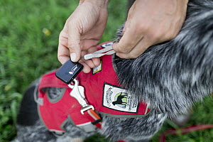 Domestic Dog (Canis familiaris) named Jack, a scent detection dog with Conservation Canines, having gps placed on him by handler, Washington - Jaymi Heimbuch