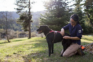 Domestic Dog (Canis familiaris) named Scooby, a scent detection dog with Conservation Canines, is harnessed by field technician Jennifer Hartman, northeast Washington - Jaymi Heimbuch
