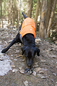 Domestic Dog (Canis familiaris) named Sampson, a scent detection dog with Conservation Canines, finding carnivore scat, northeast Washington - Jaymi Heimbuch