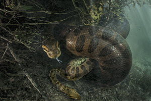 Green Anaconda (Eunectes murinus) female constricting male after copulation, after which she will consume him, Brazil - Luciano Candisani
