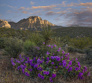 Purplemat (Nama demissum) flowering, Red Rock Canyon National Conservation Area, Nevada  -  Tim Fitzharris