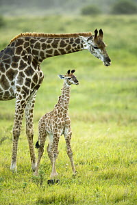 Northern Giraffe (Giraffa camelopardalis) mother and calf, iSimangaliso Wetland Park, South Africa  -  Richard Du Toit
