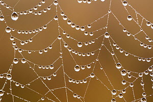 Spider web covered with dew drops, Garden Route National Park, South Africa - Richard Du Toit