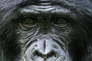 Bonobo (Pan paniscus) staring, native to central Africa  -  Thomas Marent