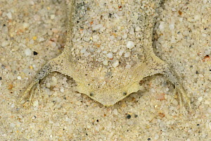 Surinam Toad (Pipa pipa) camouflaged under sand, Leticia, Colombia  -  Thomas Marent