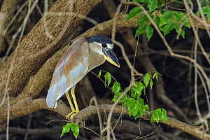 Boat-billed Heron (Cochlearius cochlearius), Pantanal, Mato Grosso, Brazil  -  Thomas Marent
