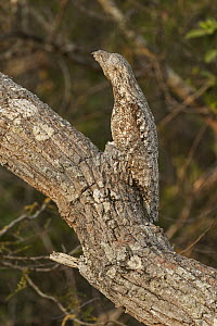 Great Potoo (Nyctibius grandis) camouflaged in tree, Pantanal, Mato Grosso, Brazil - Thomas Marent