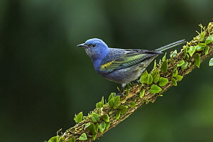 Golden-chevroned Tanager (Thraupis ornata), Sao Paulo, Atlantic Forest, Brazil  -  Thomas Marent