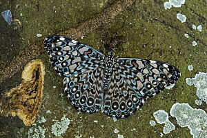 Brownish Cracker (Hamadryas iphthime) butterfly, Los Llanos, Colombia  -  Thomas Marent
