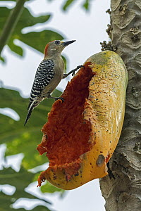 Red-crowned Woodpecker (Melanerpes rubricapillus) male feeding on Papaya (Carica papaya), Sierra Nevada de Santa Marta, Colombia  -  Thomas Marent