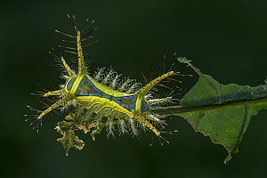 Cup Moth (Limacodidae) caterpillar, Magdalena Valley, Colombia  -  Thomas Marent