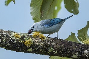 Blue-gray Tanager (Thraupis episcopus) feeding on fruit, Guacharo Cave National Park, Colombia  -  Thomas Marent