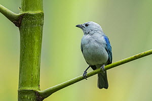 Blue-gray Tanager (Thraupis episcopus), Guacharo Cave National Park, Colombia  -  Thomas Marent