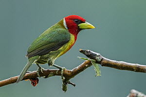 Red-headed Barbet (Eubucco bourcierii) male, Guacharo Cave National Park, Colombia  -  Thomas Marent