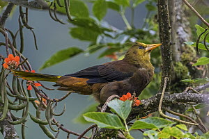 Russet-backed Oropendola (Psarocolius angustifrons), Guacharo Cave National Park, Colombia  -  Thomas Marent