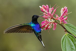 Velvet-purple Coronet (Boissonneaua jardini) hummingbird feeding on flower nectar, Las Tangaras Bird Reserve, Colombia - Thomas Marent
